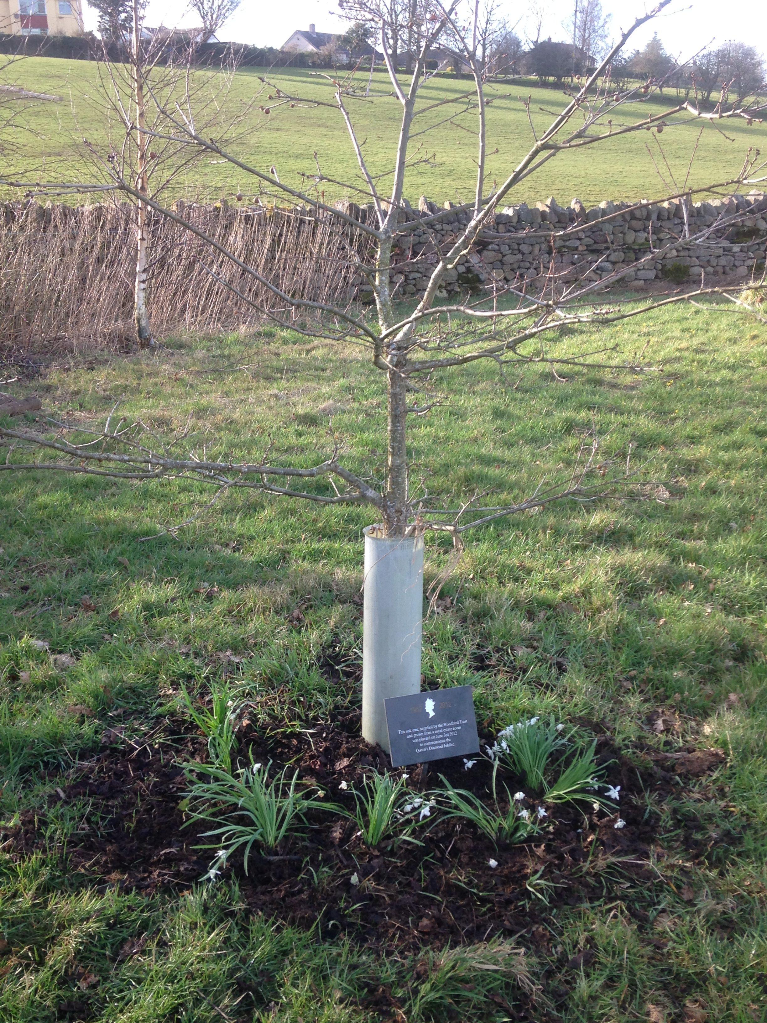 Snowdrops round Jubilee Oak